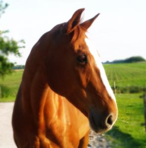 paard1-295x300